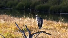 a great blue heron perched on a dead tree preens its feathers at yellowstone national park in wyoming, usa