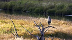 wide view of a great blue heron perched in a tree at yellowstone national park of wyoming, usa