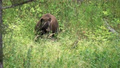 a black bear standing in a meadow of green grass eats carrion at yellowstone national park in wyoming, usa