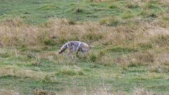 coyote stalking and catching prey in a meadow at yellowstone national park in wyoming, usa