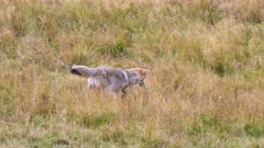a coyote in a meadow pounces on prey at yellowstone national park in wyoming, usa