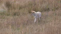 tracking shot of a coyote walking in a meadow of yellowstone national park in wyoming, usa