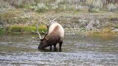 a bull elk drinking from the madison river in yellowstone national park of wyoming, usa