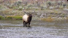 a bull elk, standing with head up, in the madison river of yellowstone national park in wyoming, usa
