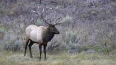 close view of a bull elk standing on the banks of the madison river in yellowstone national park of wyoming, usa