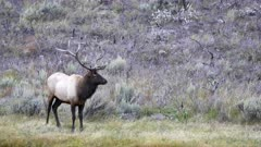 bull elk standing on a riverbank of the madison river at yellowstone national park in wyoming, usa