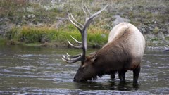 close up of a elk bull stopping drinking and looking up at yellowstone national park in wyoming, usa
