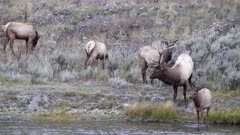 bull elk walks into madison river at yellowstone national park in wyoming, usa