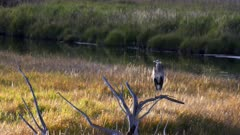 a great blue heron perched in a tree at yellowstone national park in wyoming, usa