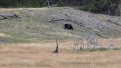 tracking shot of a grizzly bear walking up a hill at yellowstone national park in wyoming, usa