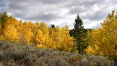 a pine tree in a copse of aspen trees at oxbow bend in grand teton national park of the united states