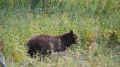 a black bear standing in green grass and feeding at yellowstone national park in wyoming, usa