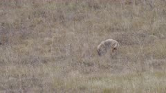 a coyote digs in long grass after a mouse in yellowstone national park of wyoming, usa