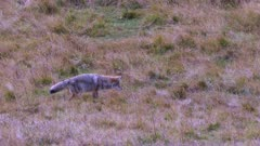 a coyote catching and eating prey at yellowstone national park in wyoming,usa