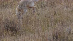 a coyote leaps after prey at yellowstone national park in wyoming, usa