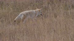 tracking shot of a coyote walking and hunting in a grassy meadow of yellowstone national park in wyoming, usa
