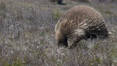 close up of an echidna searching for food in tasmania's central plateau conservation area wilderness