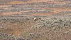 long shot of a bull elk on a hillside in yellowstone national park of wyoming, usa