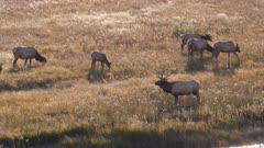 side view of an elk bull with his herd on a sunny fall afternoon in yellowstone national park of wyoming, usa