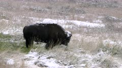 an american bison bull grazes in a field with fresh autumn snow at yellowstone national park in wyoming, usa