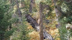 a black bear walks along a fallen tree trunk at yellowstone national park in wyoming, usa