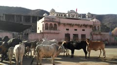 cattle standing in a street of jaipur, india