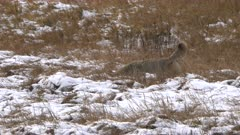 a coyote catches and eats a rodent in a snowy meadow at yellowstone national park in wyoming, usa