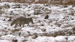 a coyote hunts in a meadow covered with fresh autumn snow at yellowstone national park in wyoming, usa