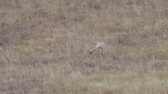 a coyote leaps and starts digging after prey at yellowstone national park in wyoming, usa