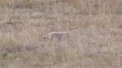 wide shot of a coyote stalking prey at yellowstone national park in wyoming, usa