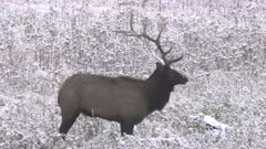 close up side on shot of elk bull standing in snow at yellowstone national park in wyoming, usa