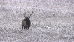 a elk bull standing in a snowy meadow at yellowstone national park in wyoming, usa