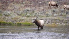 a bull elk stands in the madison river at yellowstone national park in wyoming, usa