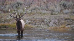 an elk bull walks into the madison river of yellowstone national park in wyoming, usa