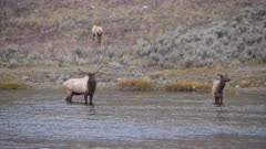 an elk bull walks towards a cow standing in the madison river at yellowstone national park of wyoming, usa
