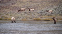 bull elk and herd of cows at the madison river in yellowstone national park in wyoming