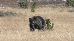 tracking shot of a grizzly bear approaching in yellowstone national park of wyoming, usa