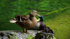 close shot of a mallard duck pair on the shore at plitvice lakes national park in croatia