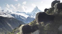 close up of valais blackneck goats feeding with the matterhorn in the background- shot near zermatt, switzerland