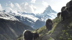 flock of valais blackneck goats with the matterhorn mountain in the distance- filmed near zermatt, switzerland