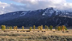 autumn shot of a bison herd walking in the lamar valley at yellowstone national park of wyoming, usa
