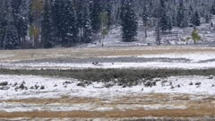 long shot of wolf pups of the junction butte pack in their lamar valley range at yellowstone national park in wyoming, usa