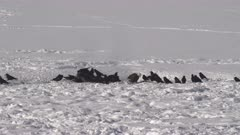 winter shot of ravens and a bald eagle scavenging on a bison carcass at yellowstone national park in wyoming, usa