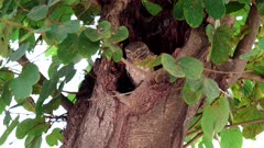 spotted owl sleeping in a tree hollow at agra, india