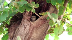 spotted owlet in a tree hollow at agra, india