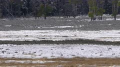long shot of wolf pups playing in fresh snow at yellowstone national park in wyoming, usa