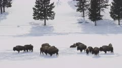 winter shot of a bison herd standing in the snow at yellowstone national park in wyoming, usa