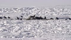 winter shot of coyote and ravens scavenge on a bison carcass at yellowstone national park in wyoming, usa