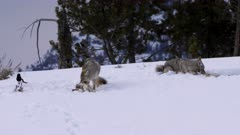 winter shot two coyotes chewing on the bones of a carcass in yellowstone national park in wyoming, usa