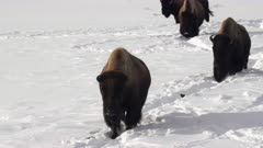 winter shot of a bison herd walking in deep snow at yellowstone national park in wyoming, usa